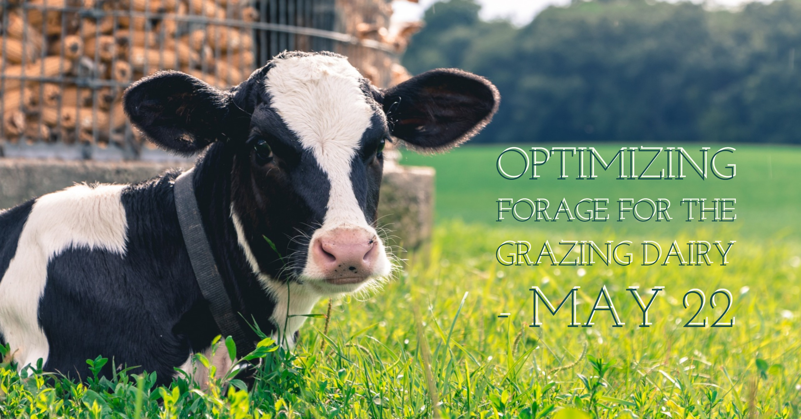 Forage for Grazing Dairy